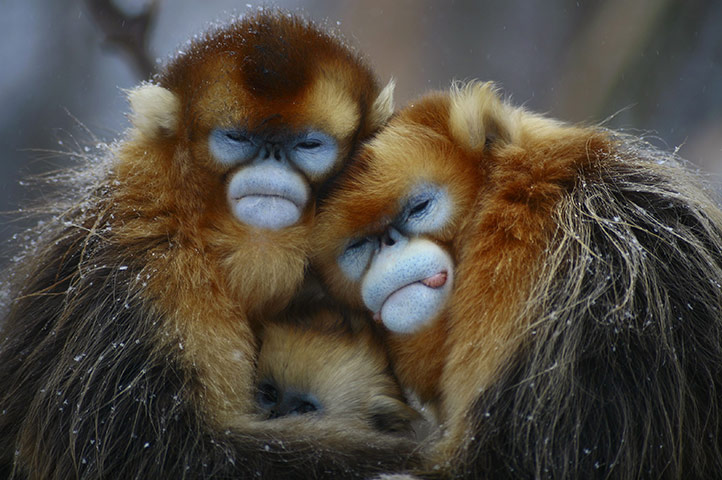 Yellow monkeys Hubei province China