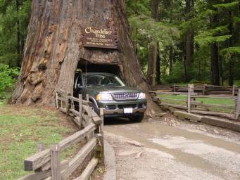 The Chandlier Tree in Redwood forest