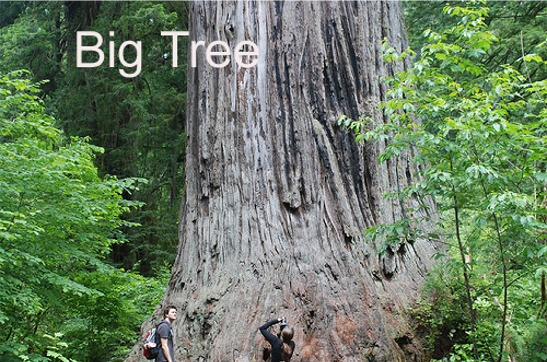 Redwood forest big Tree