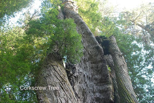 Redwood forest Corkscrew Tree