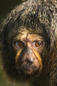 hvilken dyr bor i regnskoven i asien